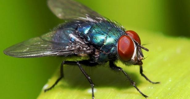 hadits-dan-sains-misteri-sayap-lalat-secara-ilmiah-4lyu6bxnwd